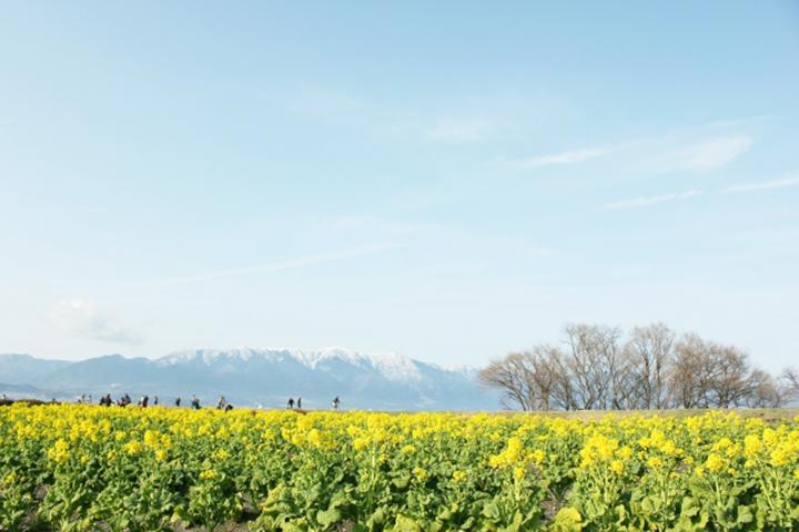 守山市の菜の花畑